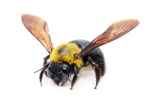 Carpenterbee Control CARPENTERBEE CONTROL Carpenter Bee Carpenterbees